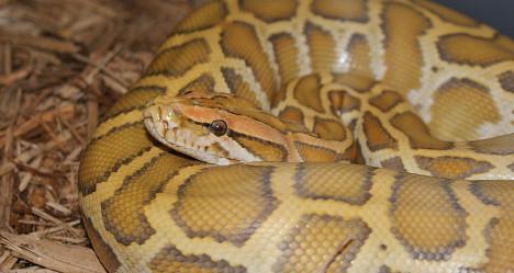 Albino python terrorizes small Spanish town