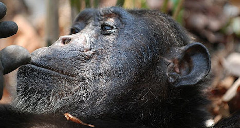 Spain's blind chimp has cataract surgery