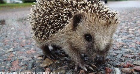 Hedgehog cub strangled with hairband