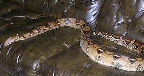 Norwegians keep 35,000 illegal snakes