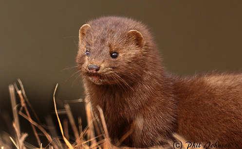 Norway mulls fur farm ban