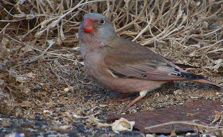 Rare finch seen in Norway for first time