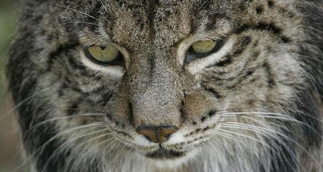 Endangered Spanish lynx slaughtered on roads