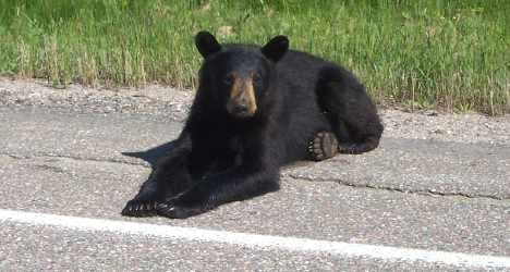 Roaming bears face risky border crossing
