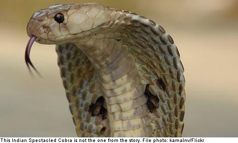 Gothenburg man bitten by venomous cobra