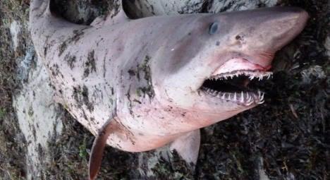 Three-metre shark found on French beach (gallery)
