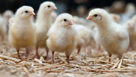 Shredding ban saves one-day-old male chicks