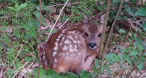 Bern deer study ended after 22 fawns killed
