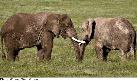 Swedish TV star in ivory trade scandal