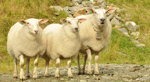 Record low number of radioactive sheep