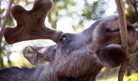 VIDEO: Elk invade Norwegian seaside town