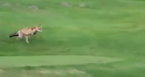 VIDEO: Crafty fox steals balls at Swiss golf club