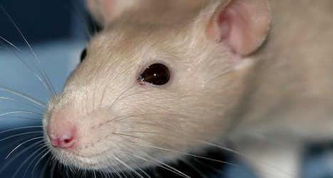 Rome spends €400,000 on rat hunt