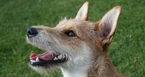 Game officials tackle deer-devouring dogs