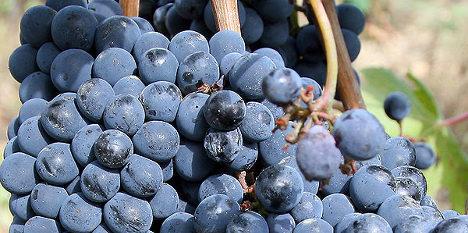 Puglia's great grape robbers arrested