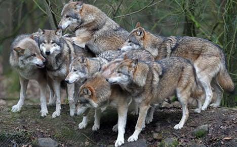 Wolves kill flock of sheep near Berlin