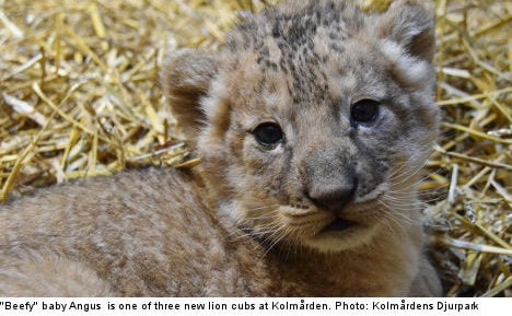 'Beefy' lion triplets the pride of Swedish zoo