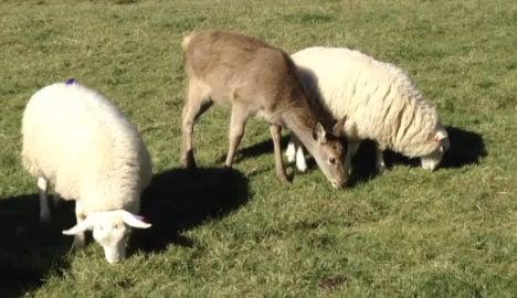 VIDEO: Baby deer believes it is a sheep