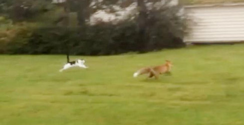 VIDEO: Brave cat charges fox head-on