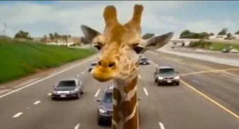 Freak road crash kills Spanish giraffe
