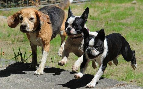 Vets: Dogs overdose on drug-user poop