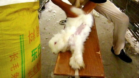H&M says no to angora after rabbit torture video