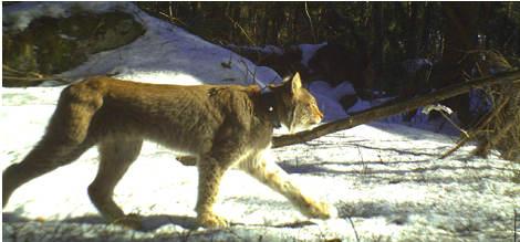 VIDEO: Lynx mum filmed with cubs near Oslo