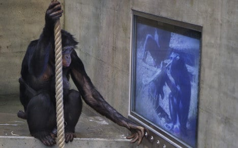 Zoo gives apes choice of action or romance films