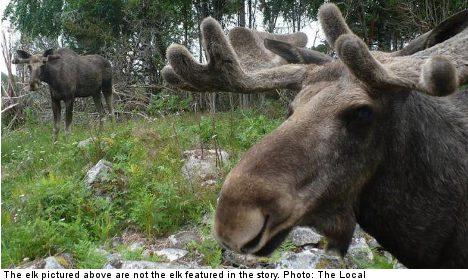 Elk family attacks Swedish schoolboy