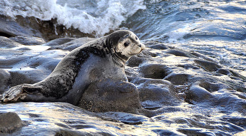 Norway loses battle to export seal goods to EU