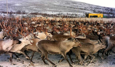 Norway produces first ever halal reindeer meat