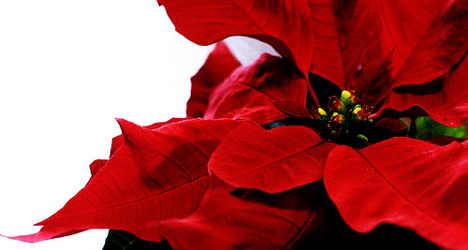 Mafia nabbed in Christmas flowers racket