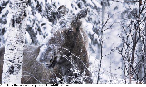 Elk hunting in Sweden: one Englishman's tale
