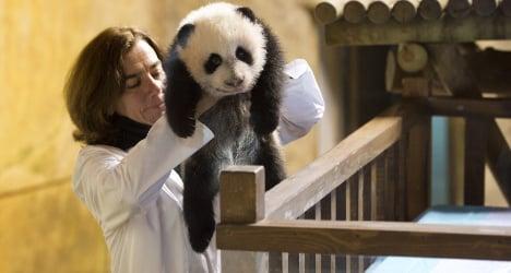 Madrid zoo names rare baby panda Xing Bao