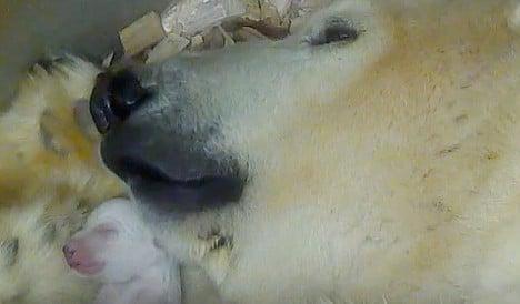 Delight as Munich zoo polar bear has twins