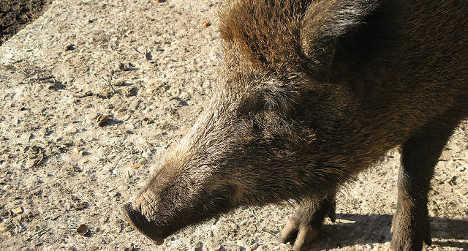 'Radioactive' boars roaming northern Italy