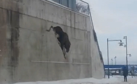 VIDEO: Elk takes fatal plunge off mall car park