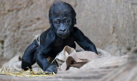 Leipzig zoo's baby gorilla strolls into the limelight