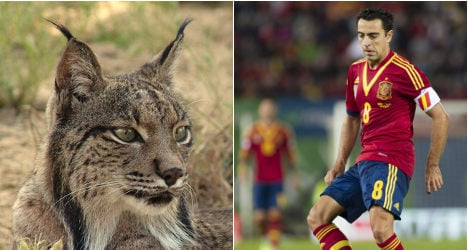 Spain's football squad 'could save Iberian lynx'
