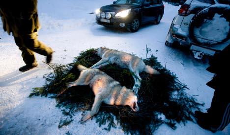 Rural Swedes slam EU ban on hunting wolves