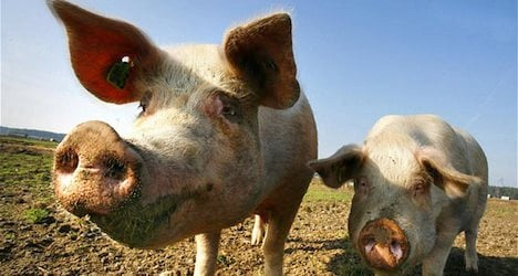 'Foreign pig' not racist: Switzerland's top court