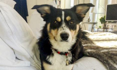 Swedish dog found after week in car wreck
