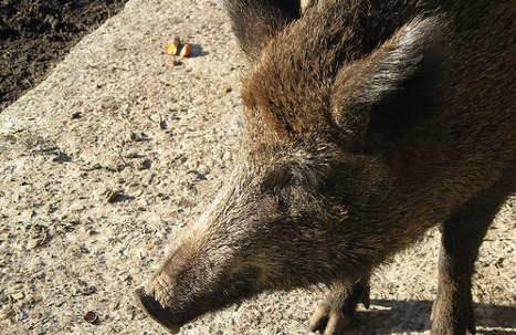 Marauding boars cause record crop damage