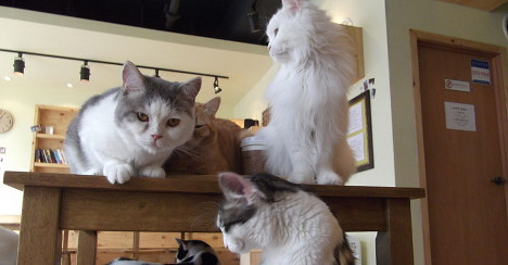 Italy's first 'cat café' opens in Turin