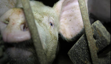 Farmer left 400 pigs to starve to death
