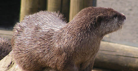 Otter mounts bloody rampage in burger bar