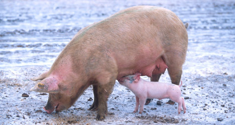 Thousands of pigs die in massive sty fire