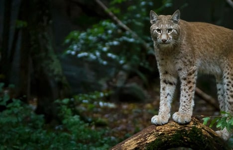 Traffic accidents claim record number of lynx