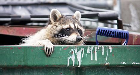 Norwegians on raccoon alert after Sweden find