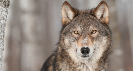 Dead wolf sparks fear in Turin